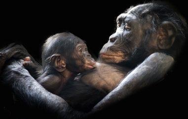 protective gorilla mum and baby